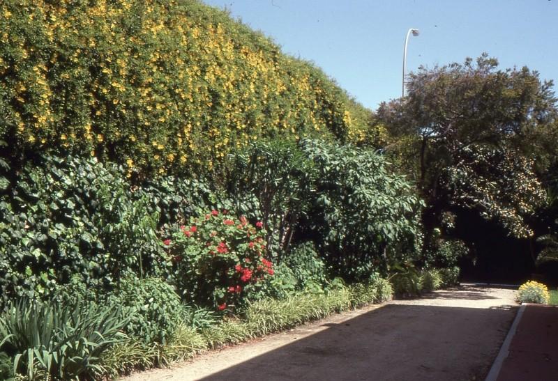 Eriobotrya japonica - bibacier, néflier du Japon 1993_m10
