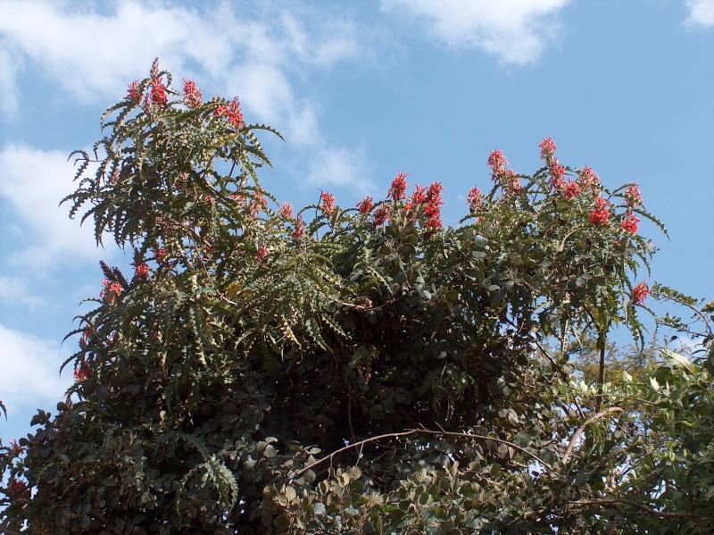 Acanthus sennii Acanth13
