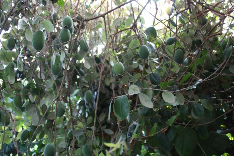 Acca sellowiana (Feijoa) - goyavier du Brésil Acca_s10
