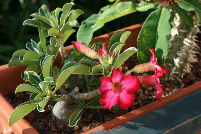 Balcon fleuri Adeniu11