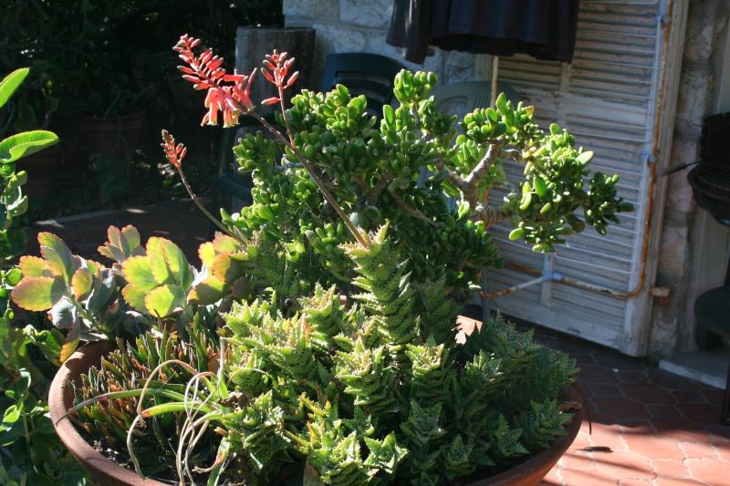 Aloe juvenna - Page 2 Aloe_j10