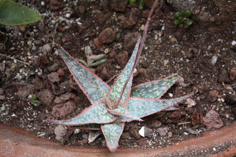Aloe - identifications [verrouillé] - Page 6 Aloe_s10