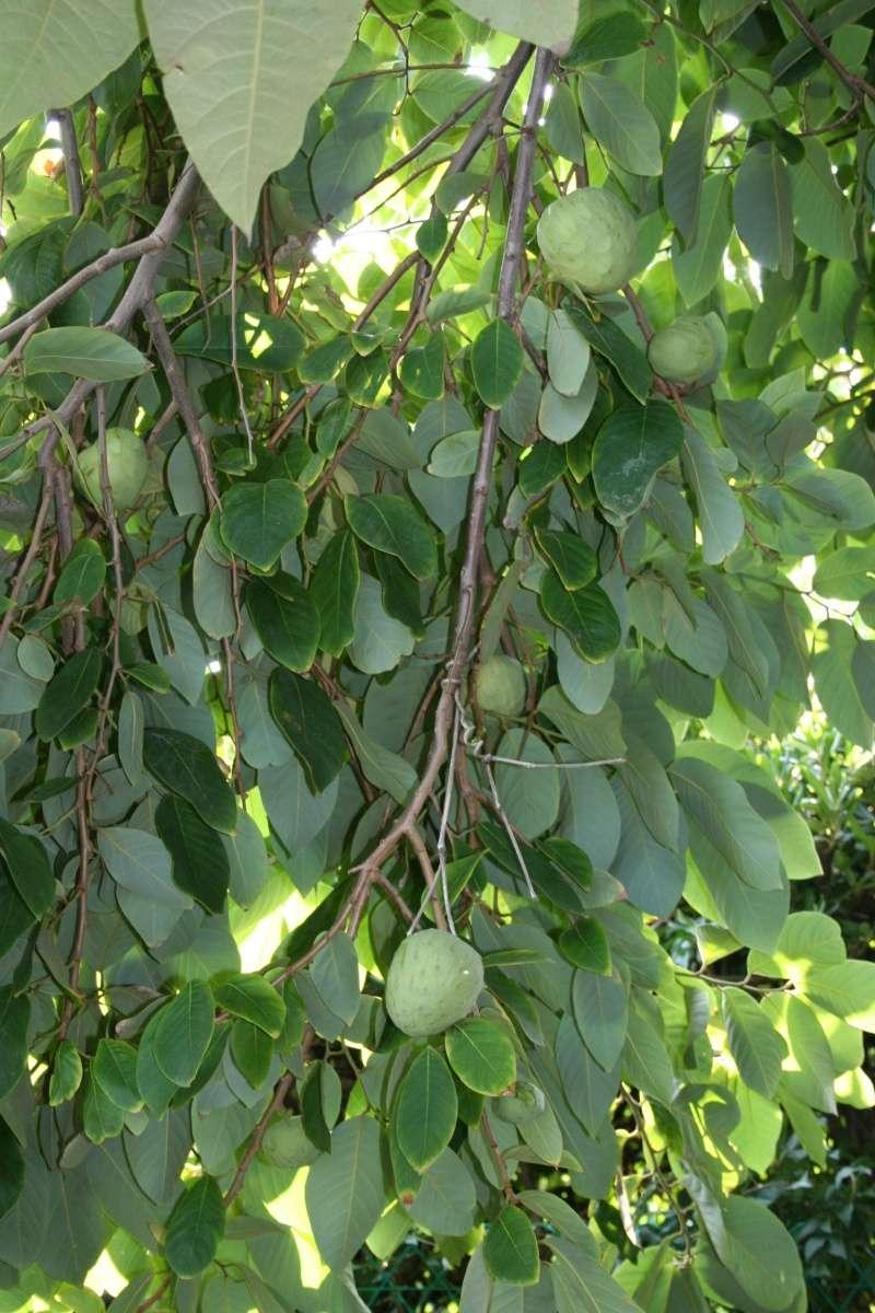 Annona muricata - corossolier Annona10