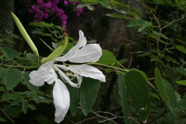 Toujours ambiance et fleurs d'été Bauhin11