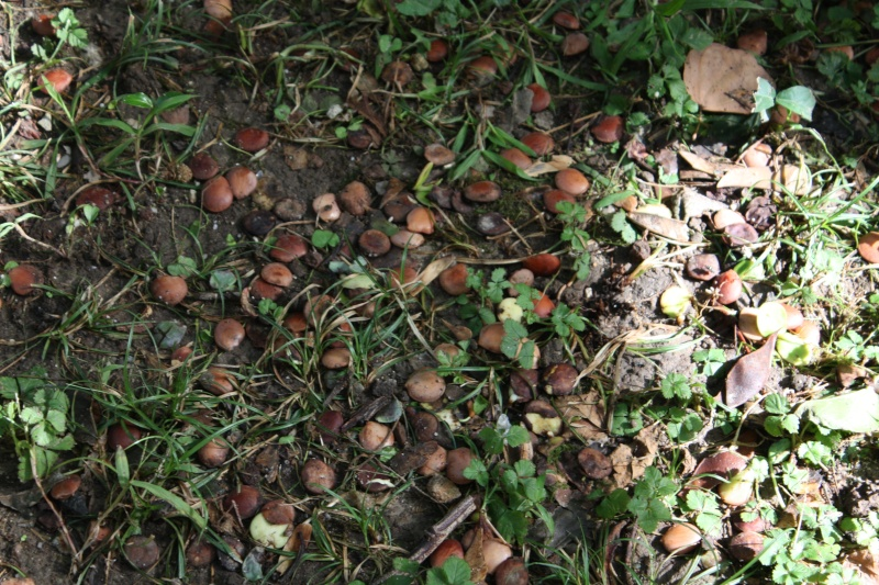 Bauhinia variegata Bauhin16