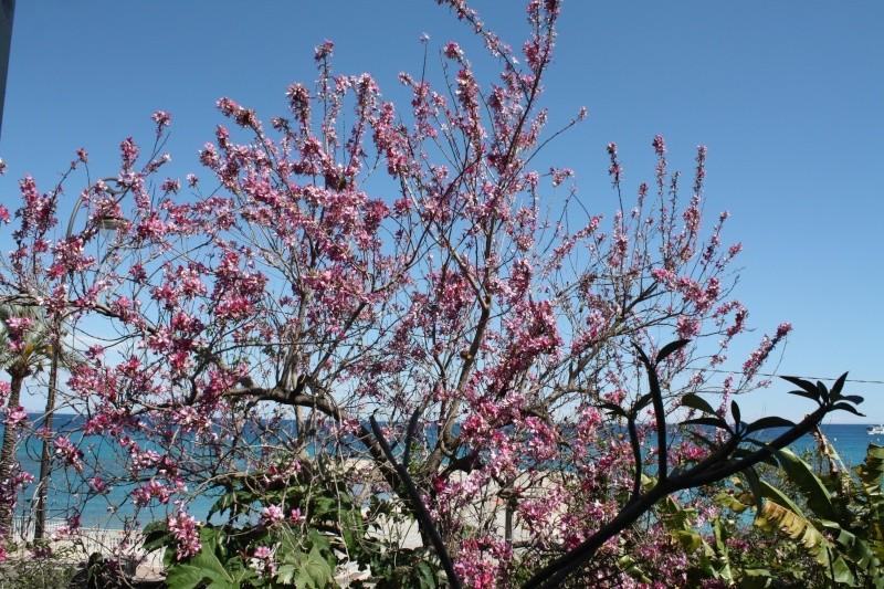 Bauhinia variegata Bauhin18