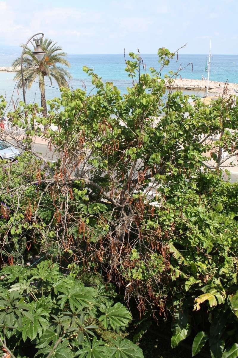 Bauhinia variegata Bauhin19