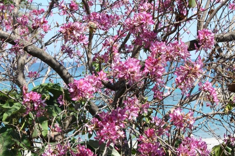 Bauhinia variegata Bauhin20