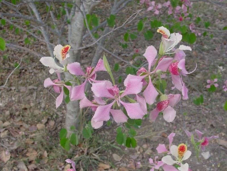 Bauhinia variegata Bauhin21