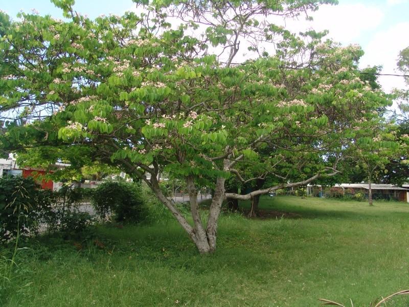 Bauhinia variegata Bauhin22