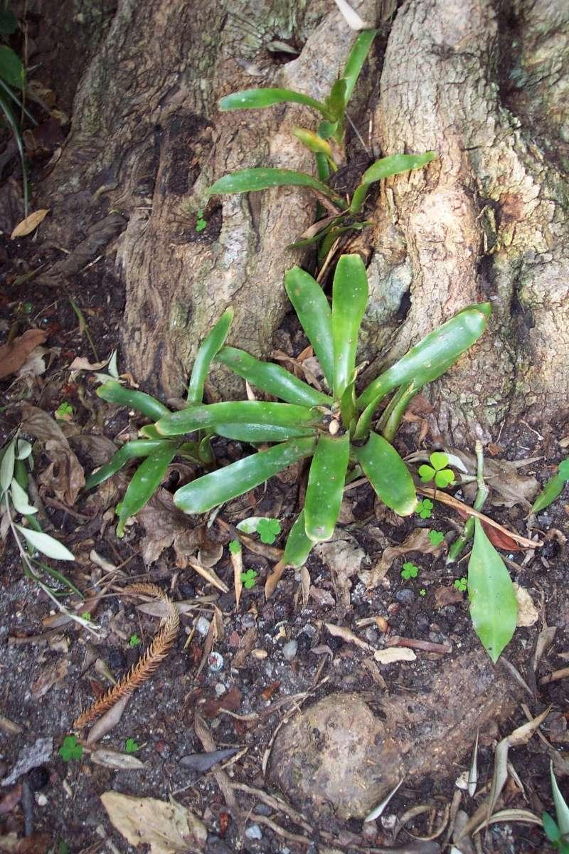 Epitree, mise en valeur estivale ou à longueur d'année de nos épiphytes. Bromel10