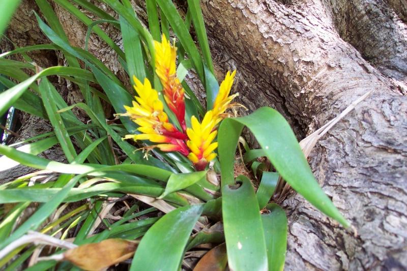 Epitree, mise en valeur estivale ou à longueur d'année de nos épiphytes. Bromel12