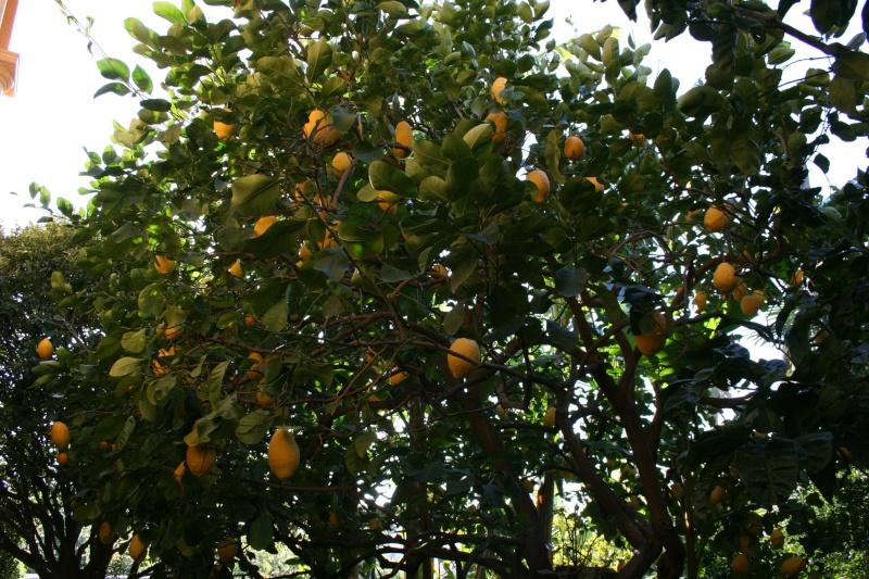 Citrus medica - de Corse Citrus12