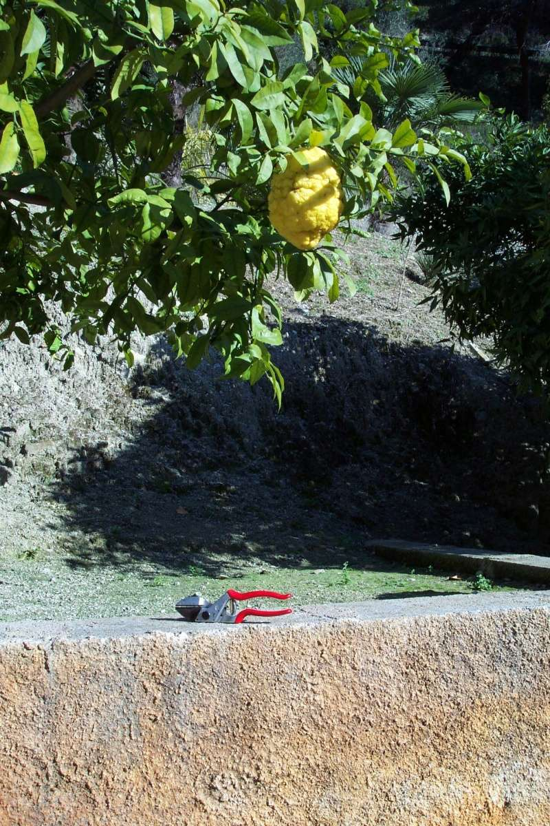 Citrus medica - de Corse Citrus14