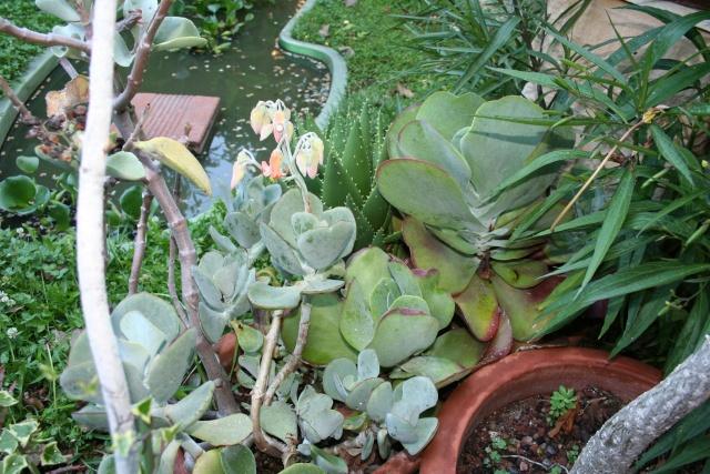 Cotyledon macrantha en fleurs Cotyle10