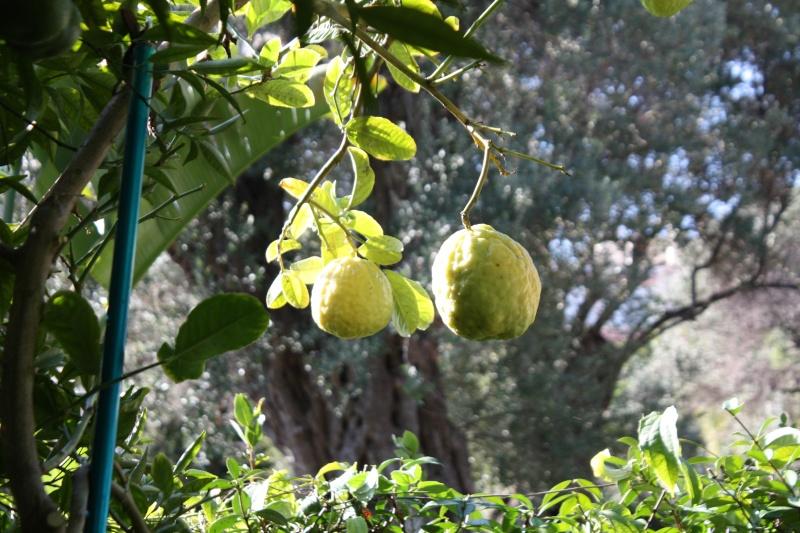 Citrus medica - de Corse Cydrat11
