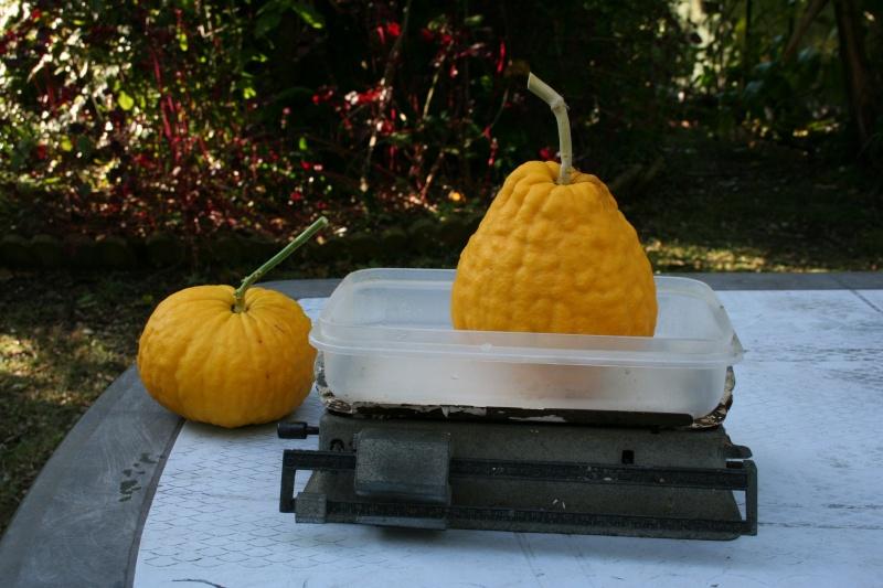 Citrus medica - de Corse Cydrat13