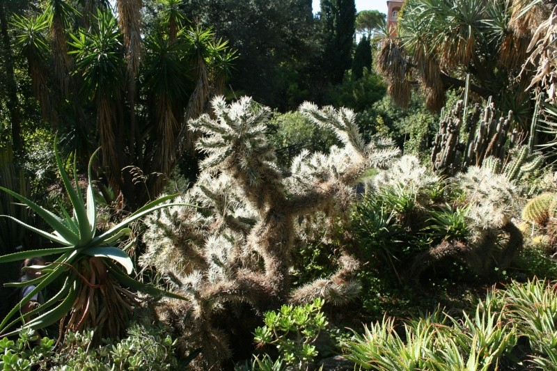 (Italie) Giardini Botanici Hanbury - Mortola Cylind10