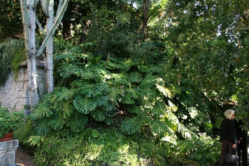 (Italie) Giardini Botanici Hanbury - Mortola - Page 2 Dybut_10