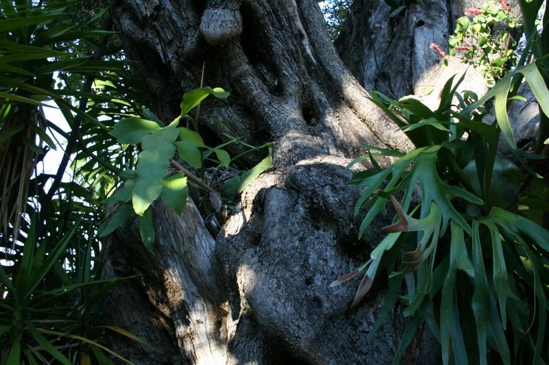 Epitree, mise en valeur estivale ou à longueur d'année de nos épiphytes. Epiphy15