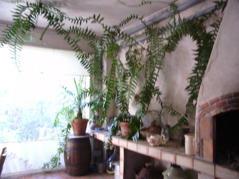 Epiphyllum chrysocardium Epiphy17