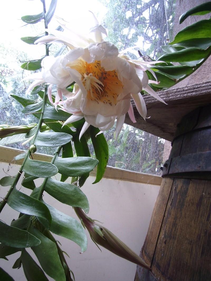 Epiphyllum chrysocardium - Page 2 Epiphy19