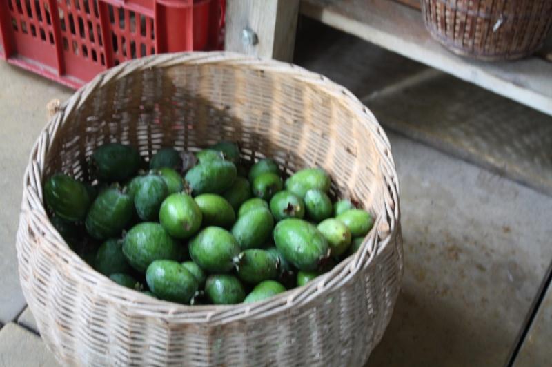 Acca sellowiana (Feijoa) - goyavier du Brésil - Page 2 Feijoa11