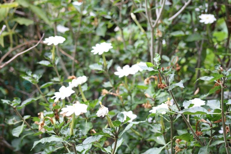 Gardenia thunbergia Garden10