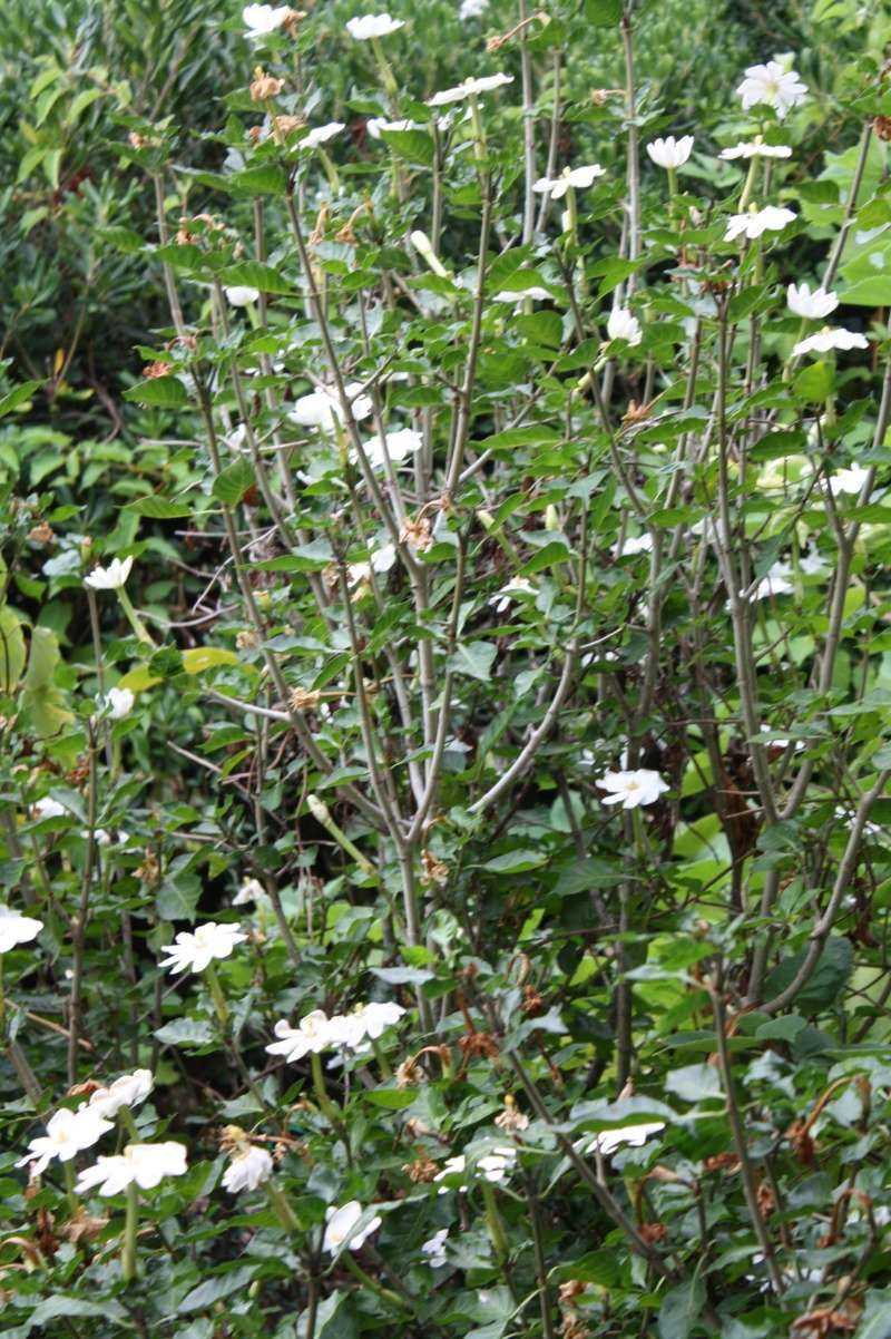 Gardenia thunbergia Garden11