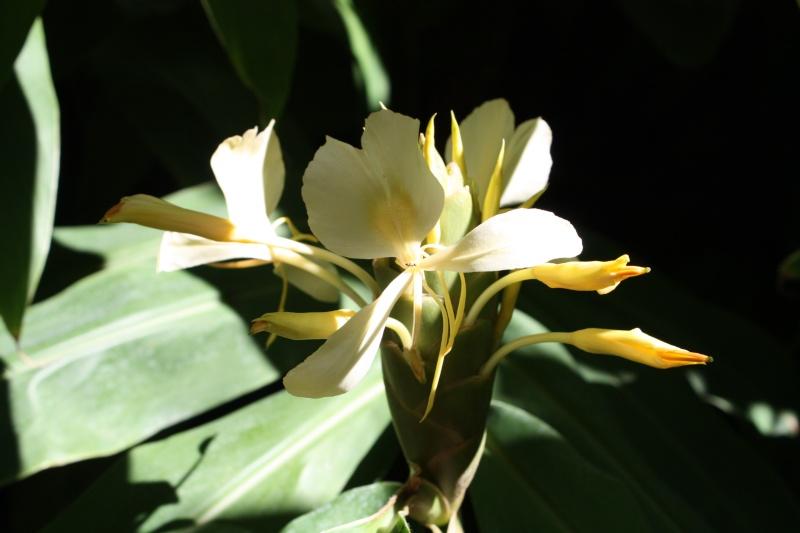Hedychium flavescens Hedych13