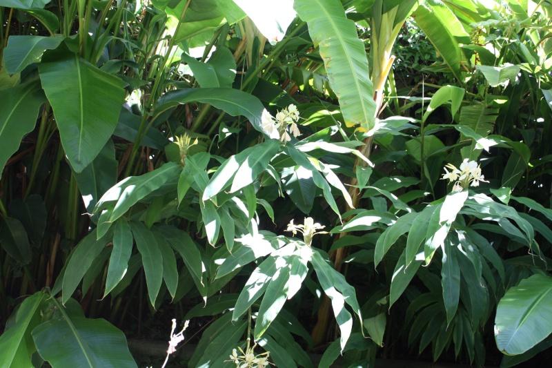 Hedychium flavescens Hedych18
