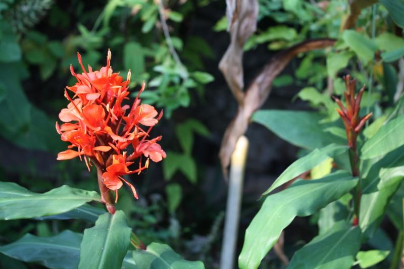 Hedychium rubrum Hedych21