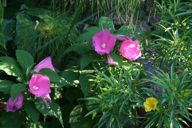 Hibiscus de mon bassin Hibisc10