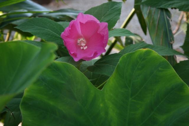Hibiscus de mon bassin Hibisc11
