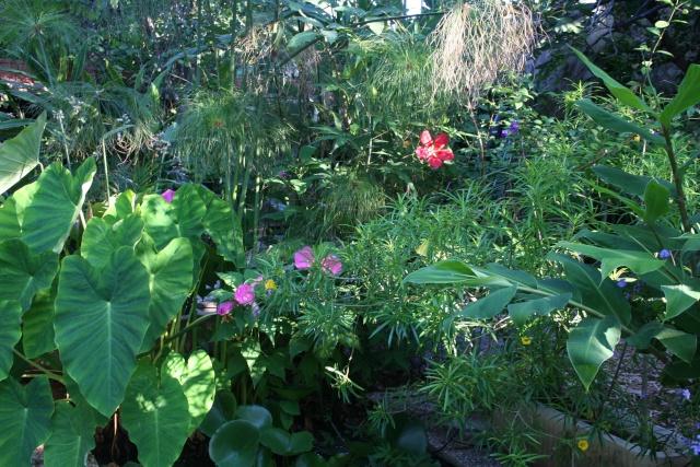 Hibiscus de mon bassin Hibisc14