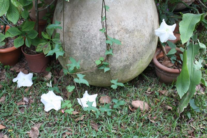 Ipomoea alba - fleur de lune Ipomoe11