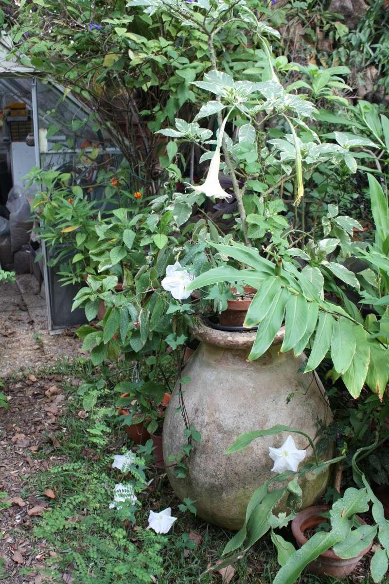 Ipomoea alba - fleur de lune Ipomoe13