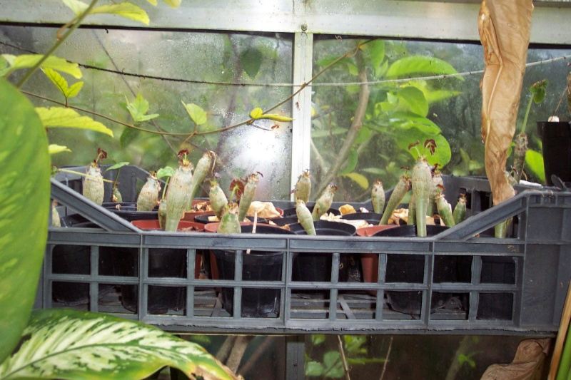 Jatropha podagrica Jatrop13