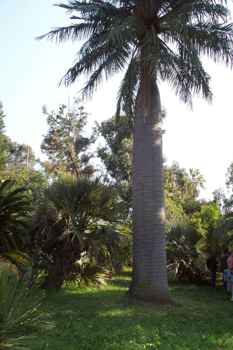 Jubaea chilensis - cocotier du Chili Jubea_10