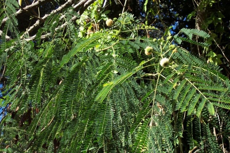 Leucaena leucocephala Leucae10