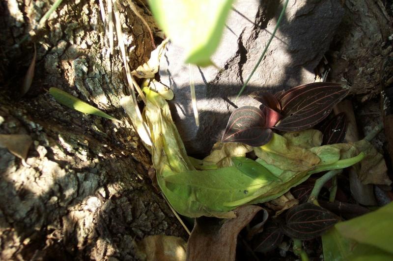 Ludisia discolor - orchidée terrestre, orchidée-bijou - Page 3 Ludisi10