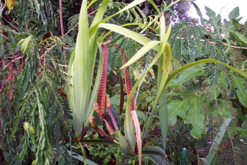 Hedychium greenii Neomar10