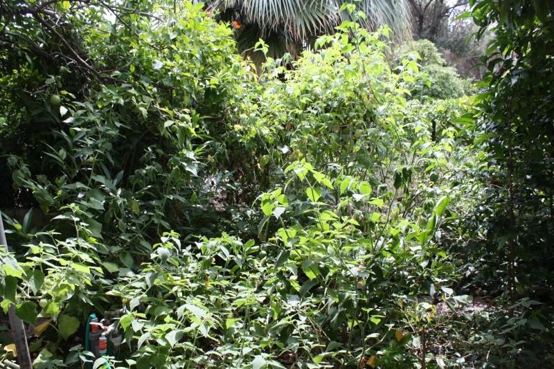 Physalis peruviana - coqueret du Pérou - Page 2 Physal11