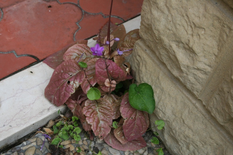 Pseuderanthemum alatum Pseude10