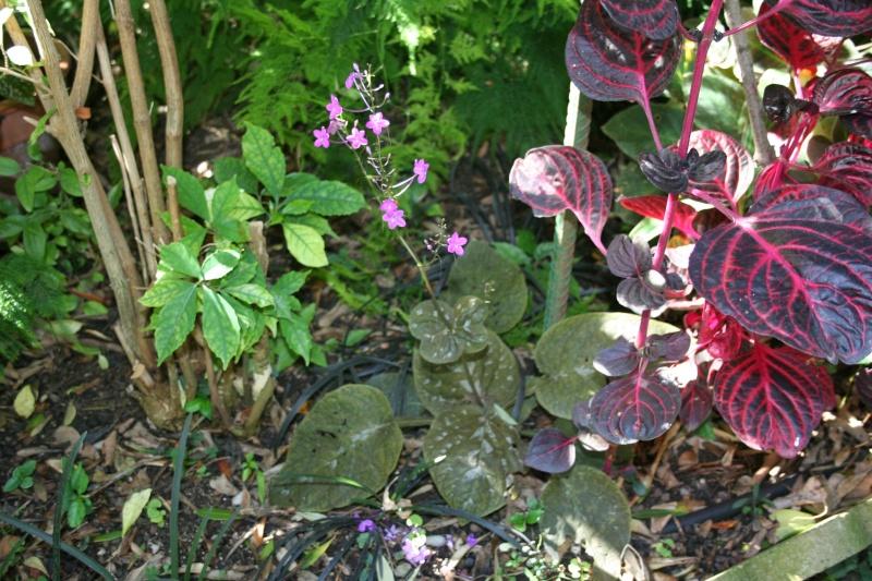 Pseuderanthemum alatum Pseude11