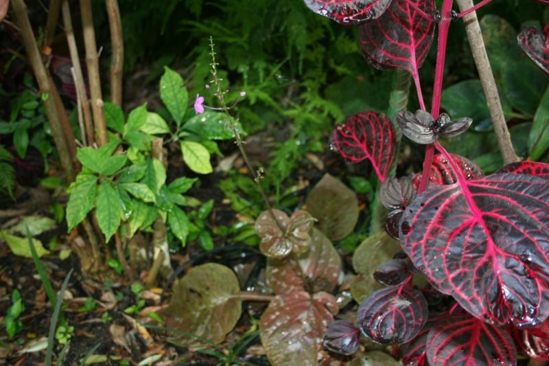 Pseuderanthemum alatum Pseude12