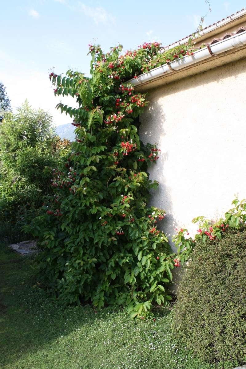 Combretum indicum (= Quisqualis indica) Quiqua10