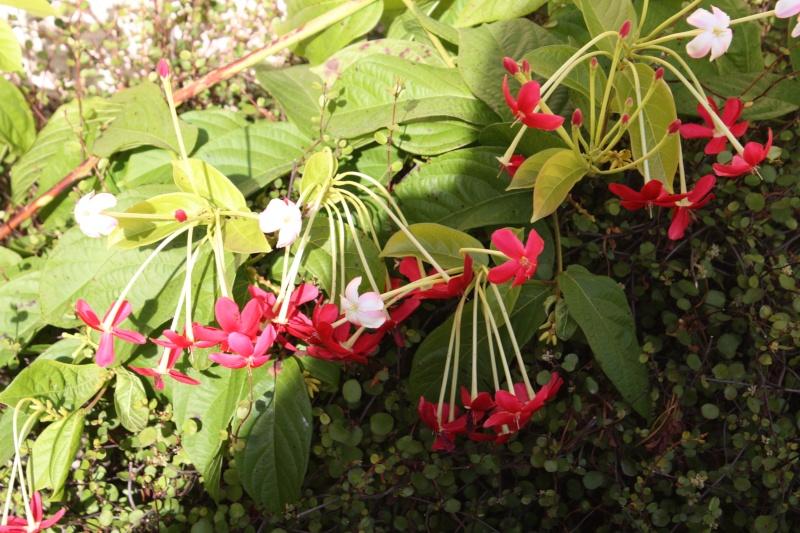 Combretum indicum (= Quisqualis indica) Quiqua11