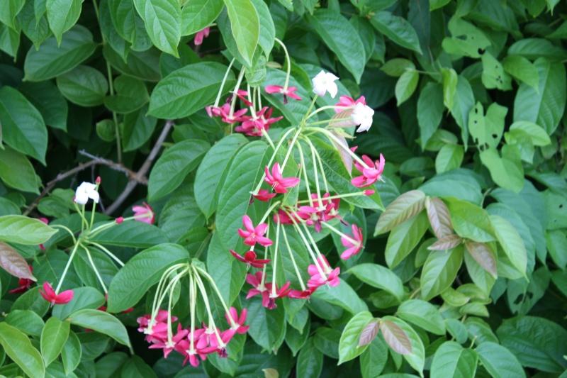 Combretum indicum (= Quisqualis indica) Quisca10
