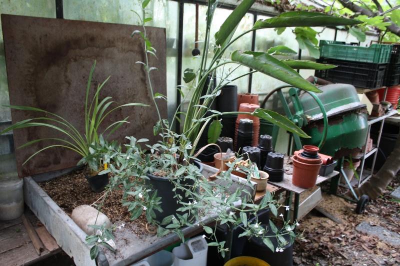 Rhinacanthus gracilis Rempot10